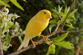 La riproduzione dei Canarini: accoppiamento e cova - I Miei Animali