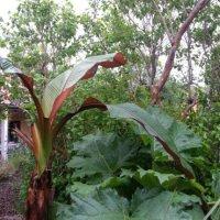 Banan plante dag i min have...