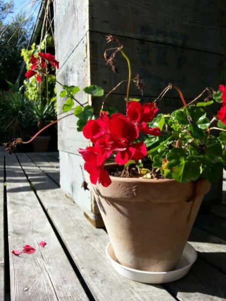 pelargonie i krukke på terrassen