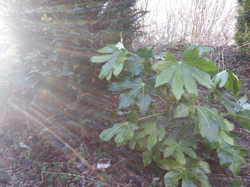 Fatsia Japonica blandt Hosta, cypresse og skovjordbær i vores eksotiske have i Nordjylland © iminhave.dk