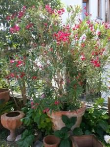 Fuchsia og terracotta i pottemagerens have i Torri del Benaco © iminhave.dk