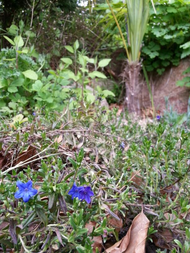 En af de små blå gaver i haven, i baggrunden en hørpalme © iminhave.dk