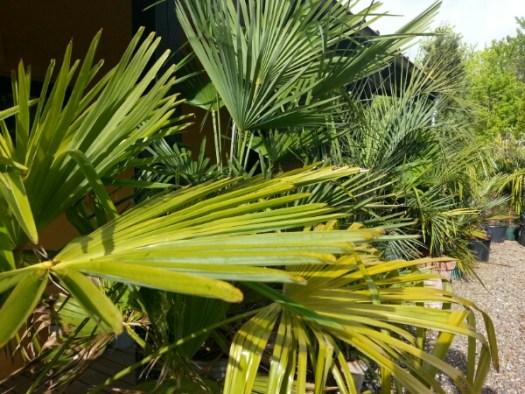 De mange palmer i solbeskyttelse på nordsiden inden de skal ud på deres plads i haven © iminhave.dk
