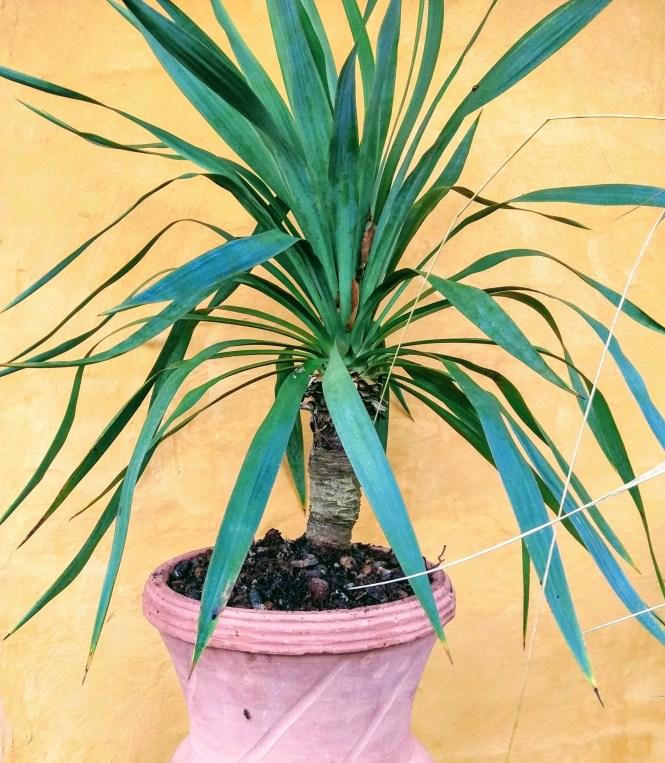 Yucca Gloriosa - Copyright © iminhave.dk