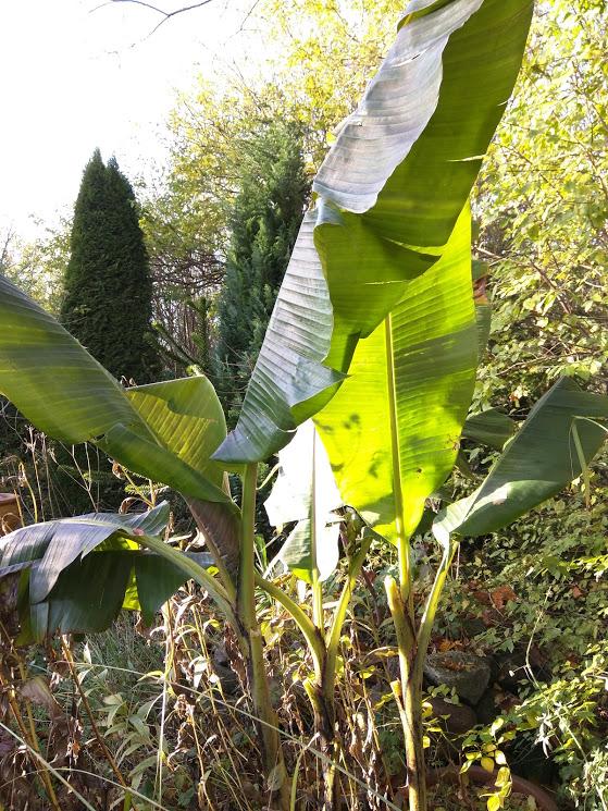 Bananer står stadig med store blade i november © iminhave.dk
