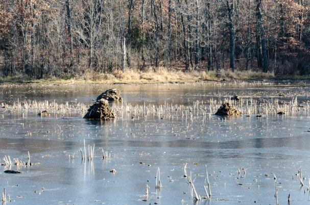 Beaver Homes in pond with skim of ice.