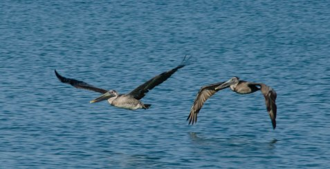 Pelicans flying.