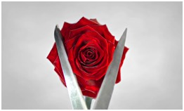 a beautiful red rose being cut with sharp scissors