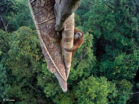 zoo Orangutan climbing wildlife photograph of the year | www.imjussayin.com