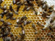 Honigwabe Hintergrundbild