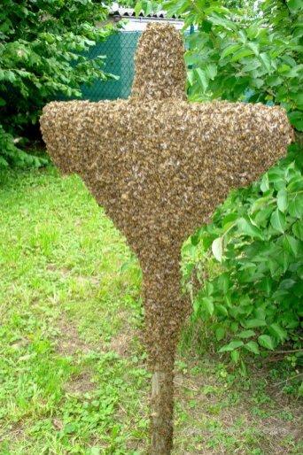 Bienenschwarm hat sich gesammelt