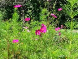 Blühende Cosmea in Marlach