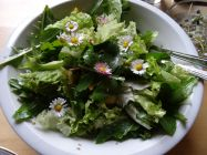 Summer salad with Dandelion leafs and daisies from the garden