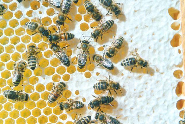 Bienen_auf_Honigwabe