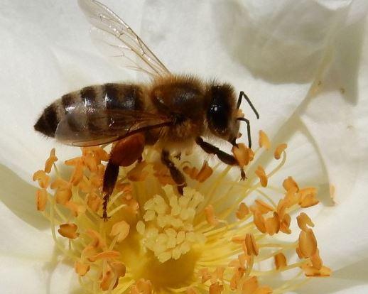 BienebeimPollensammlen