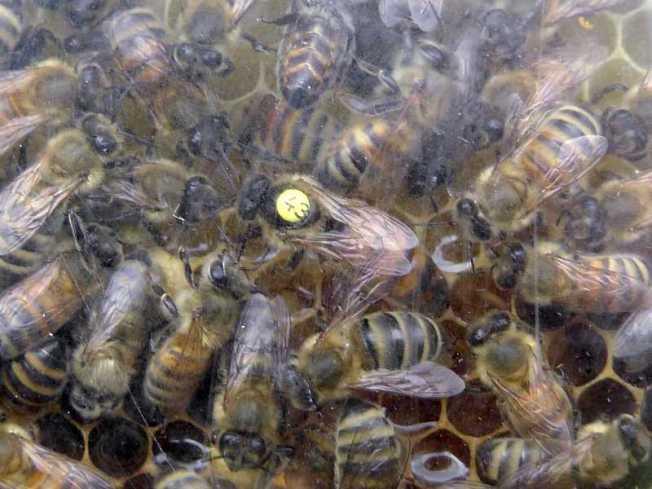 Bienenkönigin mit gelber Markierung
