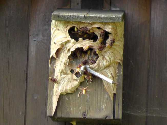Hornissenbau im Vogelhäuschen