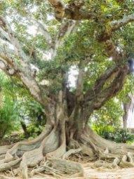 Mammutbaum im Jardim Antonio Borges