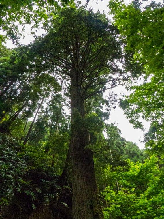 Sao Miguel Mata Jose do Canto Sequoia Baum