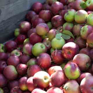 Apple picking in Quebec and the best apple recipes At the Immigrant's Table