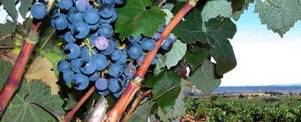 Le raisin de Valence produit des vins de qualité