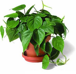 philodendron_scandens_440