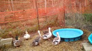 beautiful Appleyard Ducks