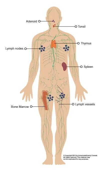 Immune System Diagram.The Immune System Immunodeficiency Canada