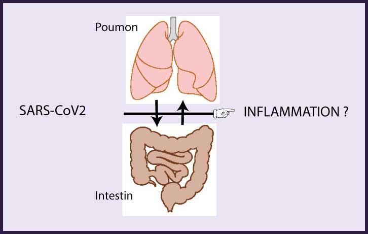 L'axe intestin-poumon