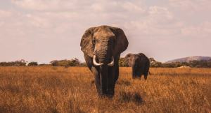 elephants on grassland