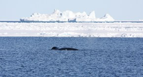 Bowhead whale in icy waters in Greenland