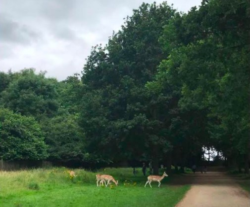 Image of deer at Wollaton Park