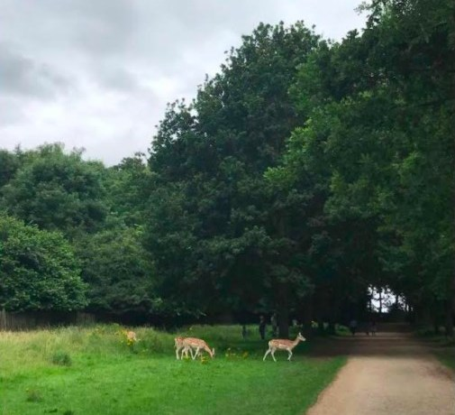 Image of deer at Wollaton Park