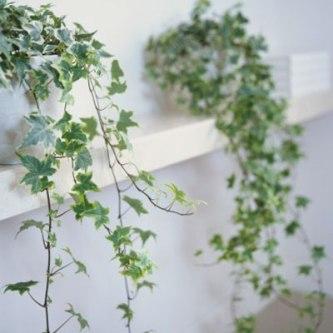 english-ivy-400x400