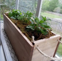 growing-mint-indoors-with-wood-vase