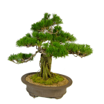 Cultivation and care of Bonsai