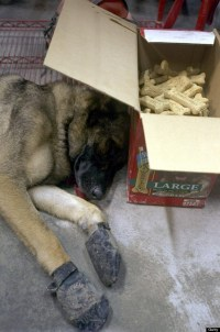 UNITED STATES - SEPTEMBER 14: Micah, a German Shepherd from Connecticut, rests under the shade of a dog biscuit box in a firehouse opposite the World Trade Center after a 20-hour day spent searching fruitlessly for survivors amidst the wreckage of the former World Trade Center. No one has been rescued from the rubble since Wednesday. (Photo by James Keivom/NY Daily News Archive via Getty Images)