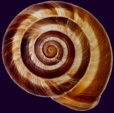 Edible snail (Helix sp.)