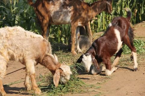 Ziegen │ goats