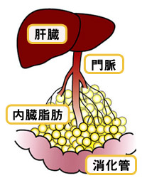 内臓脂肪は腸間膜に脂が過剰に存在している状態