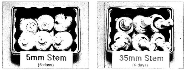 Figure 13: Photographs of mushrooms with stipe trimmed to 5 mm from the cap and those with stipes left untrimmed (35 mm) after 6 days storage at 12°C