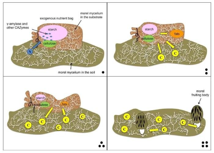 Figure 5: Schematic diagram of ENB decomposition by M. importuna SCYDJ1-A1