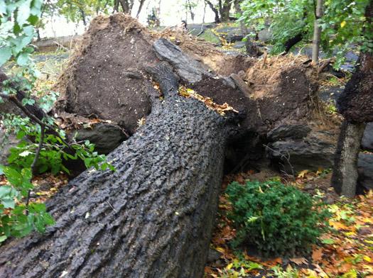 Hurricane Sandy Fallen trees