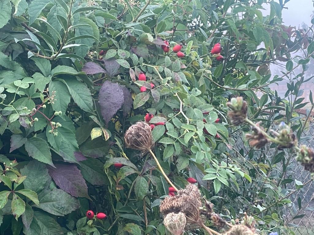 Hagebutte färben sich zum Herbstanfang im Hortus naturalis color rot.