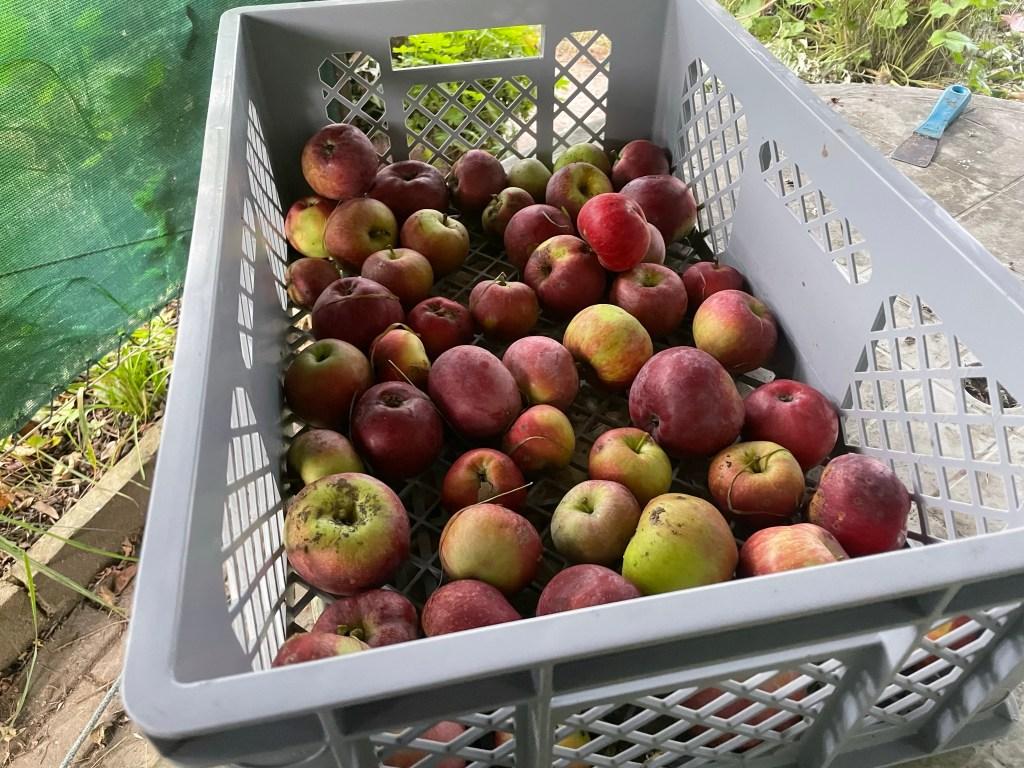 Herunter gefallene Äpfel kurz vor der Erntezeit. Der Herbstanfang im Hortus naturalis color