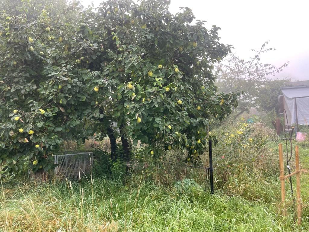 Quittenbaum mit noch unreifen Früchten. Erntezeit beginnt zum Herbstanfang im Hortus naturalis color .