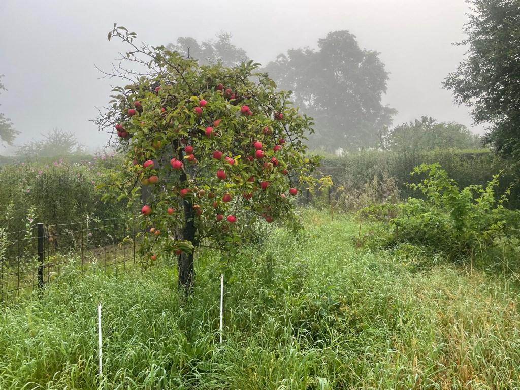 Apfelbaum mit fast reifen Äpfeln  Der Nebel läßt den Herbstanfang erahnen.