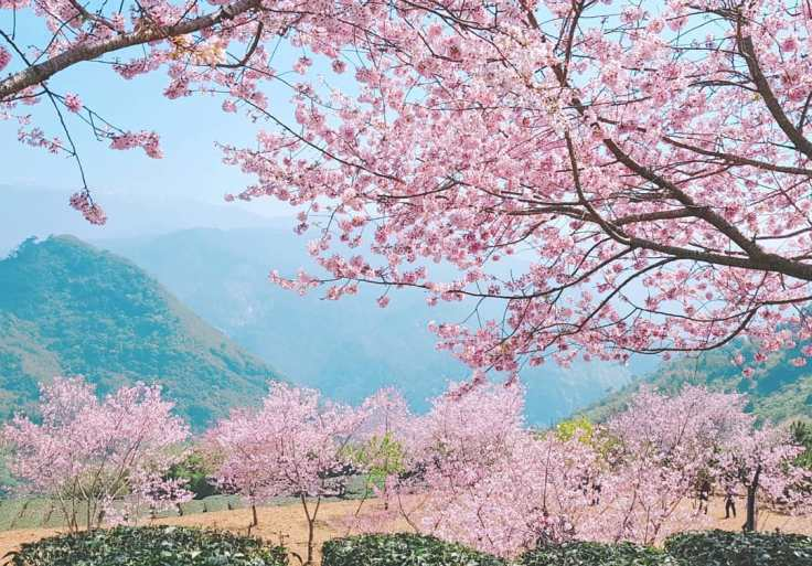 2019阿里山櫻花季