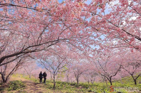 台中福壽山千櫻園