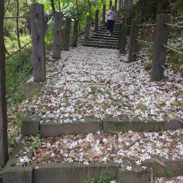 新北賞桐景點